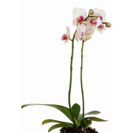Orchid by wallunica - your tailored wallpaper