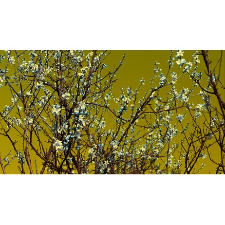 Flowering branches by wallunica - your tailored wallpaper