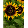 Sunflower by wallunica - your tailored wallpaper