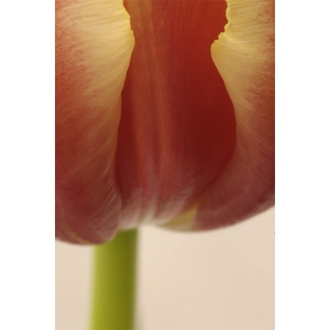Tulip by wallunica - your tailored wallpaper