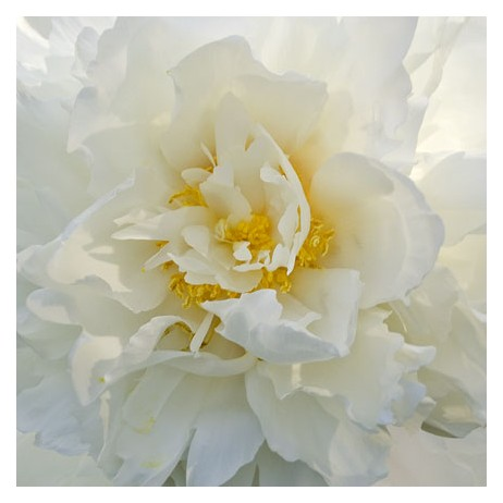 Pure White Peony by Swanson Fine Art